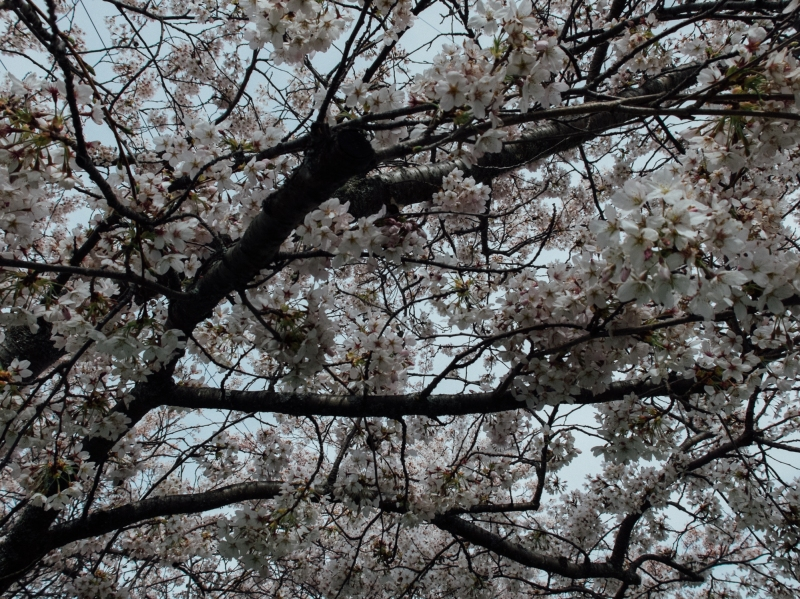 new zealand, south island, spring, cherry blossom