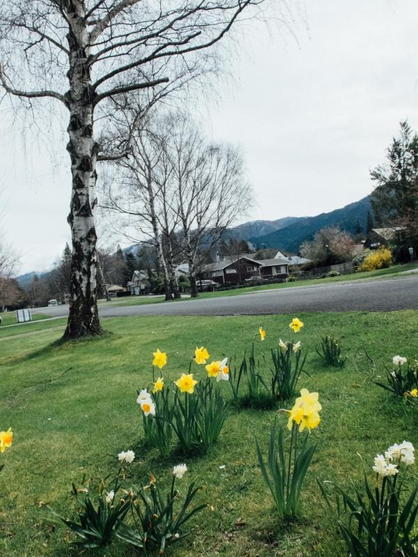 hanmer springs, south island, south island, daffodils