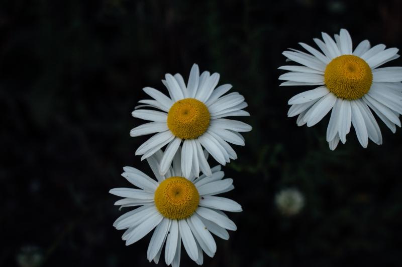 daisy, flowers, south island, auckland