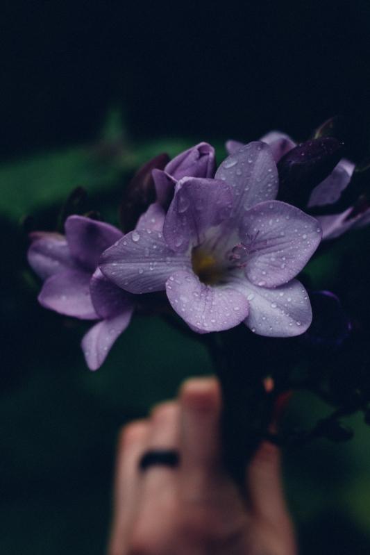 flowers, freesias, new zealand
